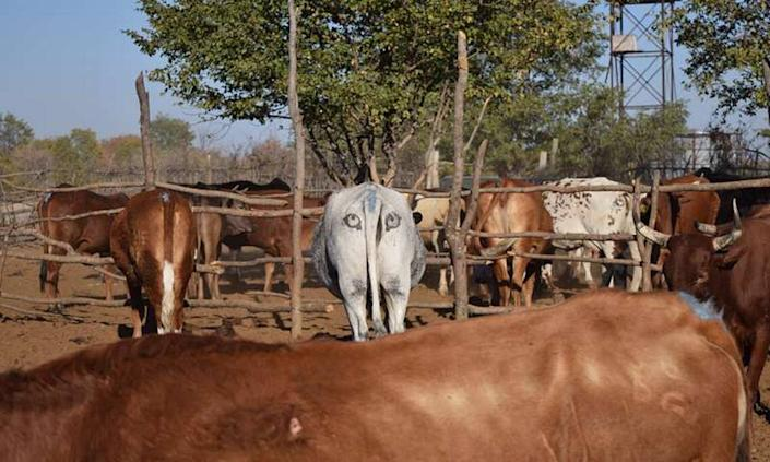 Artificial eyespots on the behind of a cattle in Botswana, Africa.