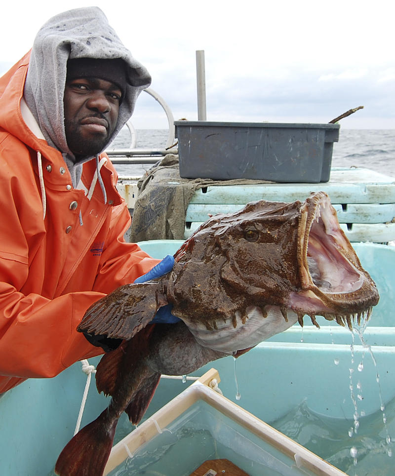 In this January 2010 photo provided by the National Oceanic and Atmospheric Administration's Northeast Fisheries Science Center, Larry Alade, of the National Oceanic and Atmospheric Administration's†Northeast Fisheries Science Center in Woods Hole, Mass., prepares to release a tagged monkfish into the North Atlantic Ocean off the coast of southern New England. The  Monkfish Defense Fund argued in a July 2012 letter that the lack of monkfish information has led federal regulators to impose unneeded restrictions that are suppressing the catch on an abundant species.   (AP Photo/National Oceanic and Atmospheric Administration's Northeast Fisheries Science Center)