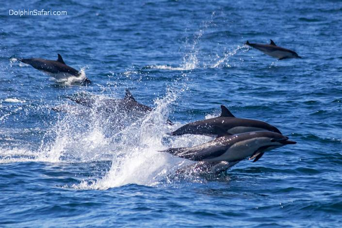 This photo provided by Capt. Dave's Whale Watching Safari shows some of 300 dolphins caught on camera Sunday, Aug. 9, 2020, stampeding across the ocean near Dana Point, Calif. A minutes-long video captured by Capt. Dave's Whale Watching Safari shows dolphins leaping several feet into the air above the glistening waters. The Orange County Register reported that dolphins move fastest while porpoising out of the water since there is less resistance in air than in water. It is unknown why pods of dolphins stampede. (Capt. Dave's Whale Watching Safari via AP)
