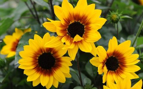Helianthus annuus 'Sunbelievable Brown Eyed Girl' is propagated by cuttings, - Credit: Thompson & Morgan