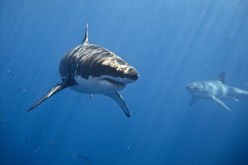 Researchers Look to Explain Mysterious Grouping of Great White Sharks Near Carolina Coast