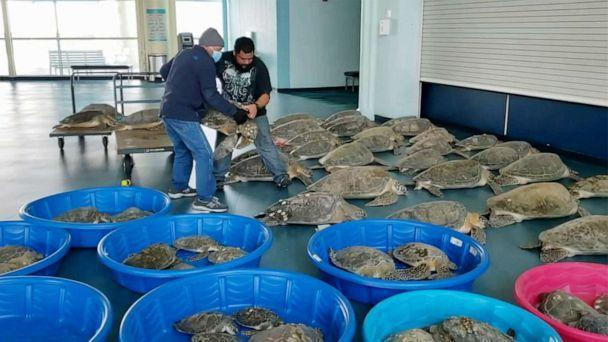 PHOTO: People place rescued turtles stunned by cold weather in an evacuation center in South Padre Island, Texas, Feb. 15, 2021. (Ed Caum/City Of South Padre Island via Reuters)