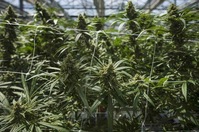 CannTrust Stock Plunges On Audit Citing Non-compliance, Cannabis Inventory Being Held