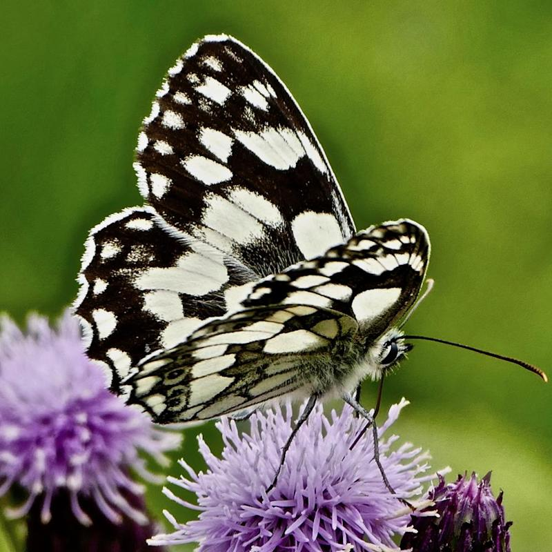 A marbled white butterfly is spotted along the Jurassic Coast in Dorset.