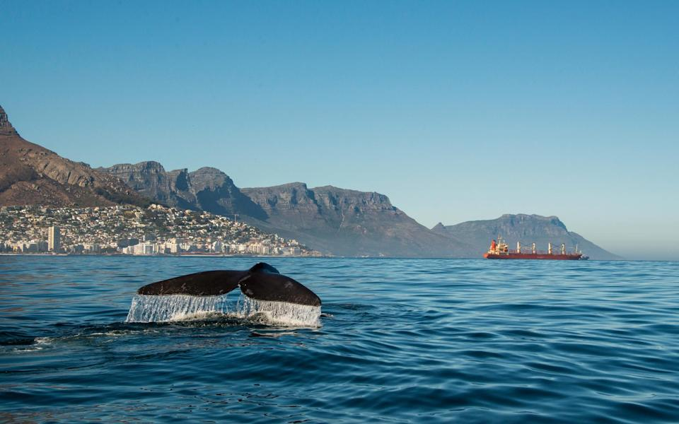 whale, cape town - Getty