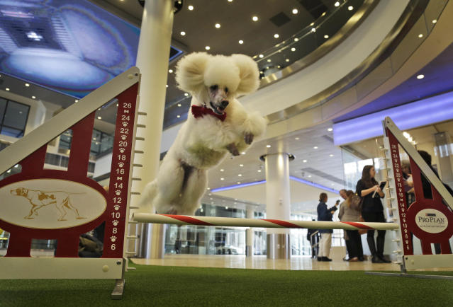 Callia, a standard poodle, demonstrates her mastery of an agility test during a news conference in New York, Wednesday, Jan. 15, 2014. For the first time ever, the Westminster Dog Show will include an agility competition, open to mixed breeds as well as purebred dogs. (AP Photo/Seth Wenig)