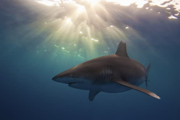 This oceanic white tip shark (Carcharhinus longimanus) near Cat Island, Bahamas took third place in the University of Miami's 2013 underwater photography contest, student division.