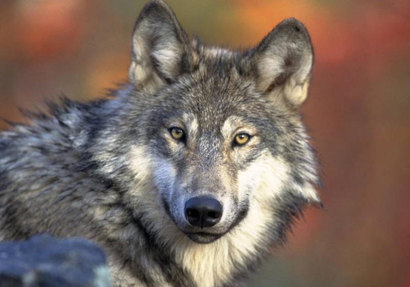 The U.S. Fish and Wildlife Service has captured images of a young male gray wolf that has been wandering between Oregon and Northern California. (U.S. Fish and Wildlife Service)