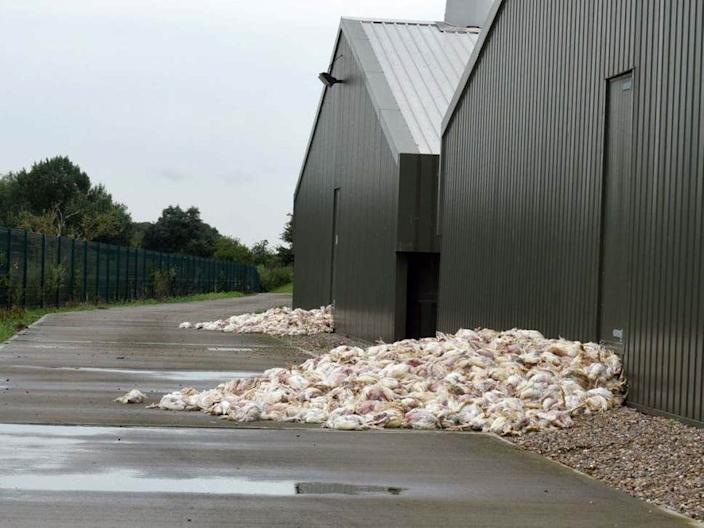Six large piles of dead chickens were found outside the Lincolnshire farm after the heatwave ( Connor Creaghan/The Lincolnite )