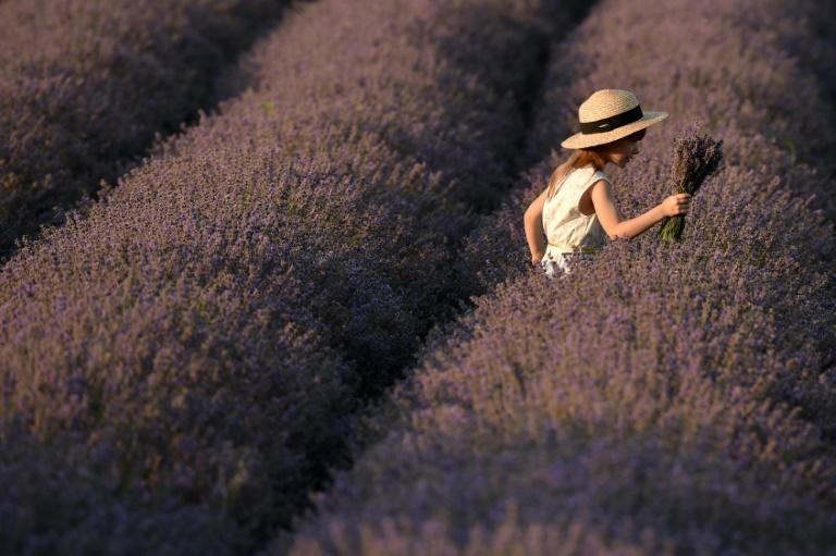 A growing number of farmers in Moldova are fuelling a resurgence in lavender, the cultivation of which collapsed along with the Soviet Union