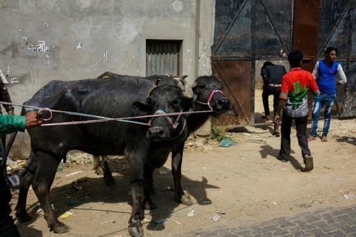 India plans to tag millions of cows to curb smuggling