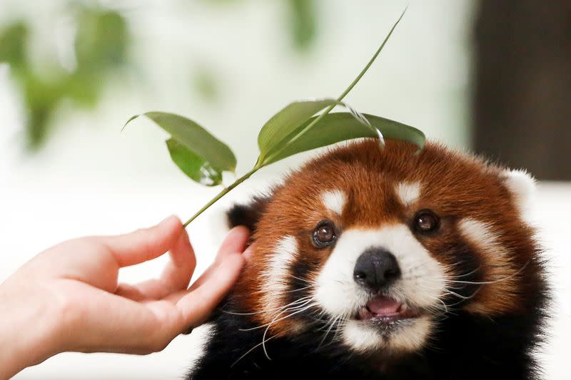 FILE PHOTO: Zookeeper strokes a red panda with a twig at the Beijing Wildlife Park in Beijing