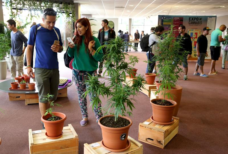 People observe marijuana plants while visiting the