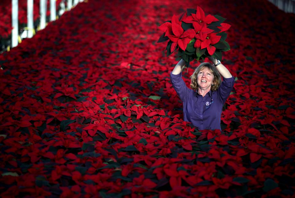 <p>Carolyn Spray, owner of Pentland Plants garden centre in Loanhead, Midlothian, prepares and inspects Poinsettia plants ready to be dispatched for the Christmas season. (PA) </p>