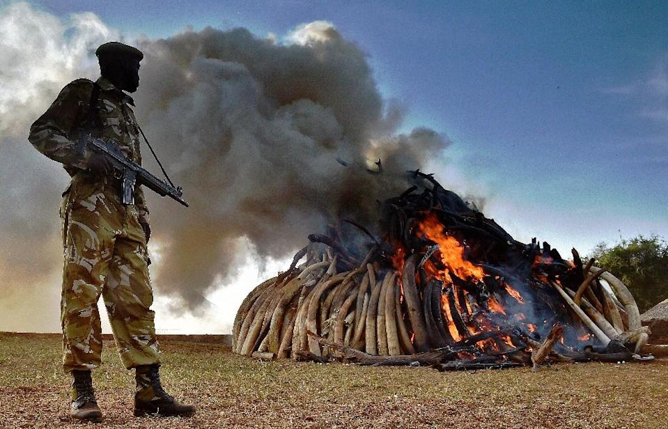 A Kenya Wildlife Services (KWS) officer stands near a burning pile of elephant ivory seized in kenya at Nairobi National Park on March 3, 2015 (AFP Photo/Carl De Souza)