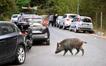 Two rival candidates for Rome mayor have called for round tables with experts to deal with the wild boars (AFP/Alberto PIZZOLI)
