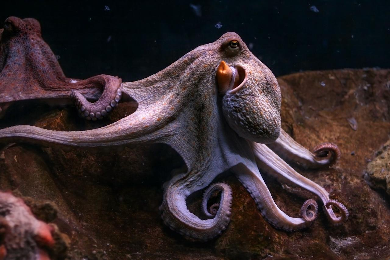 <p>From the amount of hearts each octopus has to what music they enjoy; our eight-limbed friends are some of the most interesting sea creatures that inhabit the oceans. With strong roots in mythology and even stronger roots within science investigations, the modern-day octopus is a species that we have yet to fully understand. These fascinating facts are just scratching the surface...<br></p>