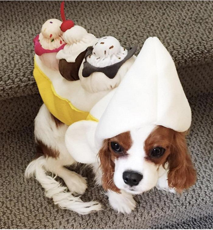 "<p>Take that banana costume to the next level by adding three scoops of ice cream, chocolate sauce and a cherry on top. Looking for this costume? <a href=""http://yahooshopping.pgpartner.com/plr.php?id=19816"" rel=""nofollow noopener"" target=""_blank"" data-ylk=""slk:Try here"" class=""link rapid-noclick-resp"">Try here</a><a href=""http://www.amazon.com/Banana-Split-Sundae-Costume-Medium/dp/B00WBBFJBG/ref=sr_1_3?s=pet-supplies&ie=UTF8&qid=1444238910&sr=1-3&keywords=ice+cream+costume+pets"" rel=""nofollow noopener"" target=""_blank"" data-ylk=""slk:!"" class=""link rapid-noclick-resp"">!</a></p><p><i>Photo: Instagram/@bensoncavalier</i></p>"