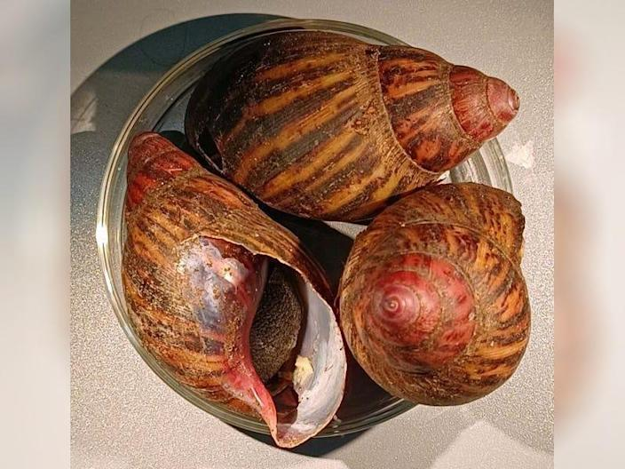 Three giant land snails found in a passenger's luggage by Customs and Border Protection.