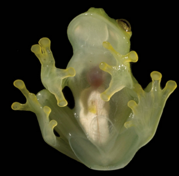 The glassfrog features transparent skin that allows you to see its internal organs (ZooKeys)