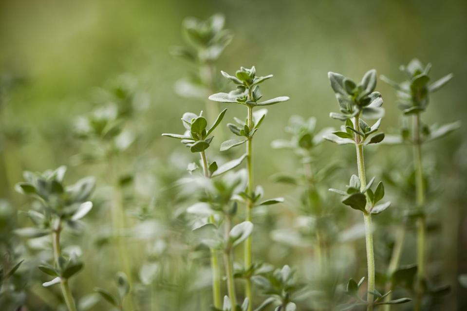 <p>Thyme's highly aromatic leaves are known to repel whiteflies, cabbage loopers, cabbage maggots, corn ear worms, tomato hornworms, and more.</p>
