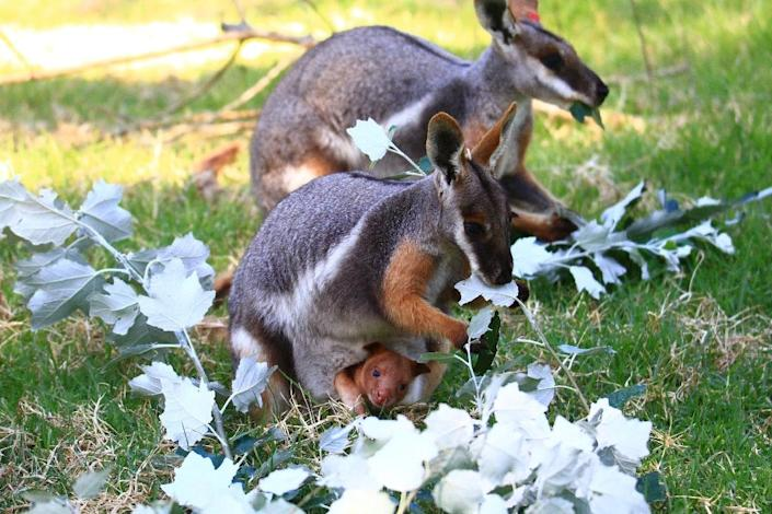 A Zoos South Australia photo shows a pair of yellow-foot rock wallabies with a female (foreground) carrying a baby Goodfellow's tree kangaroo in their enclosure at Adelaide Zoo (AFP Photo/Kate Fielder)