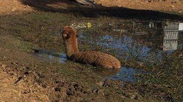 "<p>Rescuers received a bizarre call-out to save an alpaca, who became bogged in a muddy dam on a property in Londonderry, Sydney's northwest, on Sunday, May 27.</p><p>Fire & Rescue Station officer Bill Smith said Magnum the alpaca was hauled by nine men from the mud by lassos, <a href=""https://www.9news.com.au/national/2018/05/27/14/47/alpaca-rescued-sydney-fire-crew"" target=""_blank"">Nine reported</a>.</p><p>Owner Brock Cauchi, who received the animal as a birthday present in 2011, said Magnum was in good health, despite being ""very stressed"" at the time. Credit: Brock Cauchi via Storyful</p>"