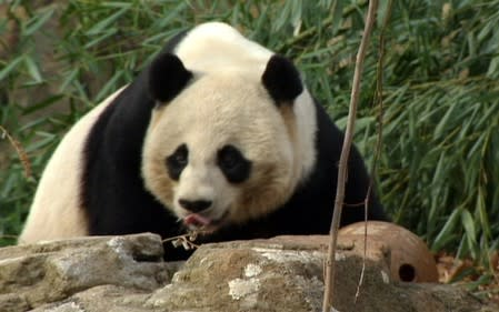 FILE PHOTO: Giant panda Tian Tian is pictured at the Giant Panda Habitat at Smithsonian's National Zoological Park in Washington