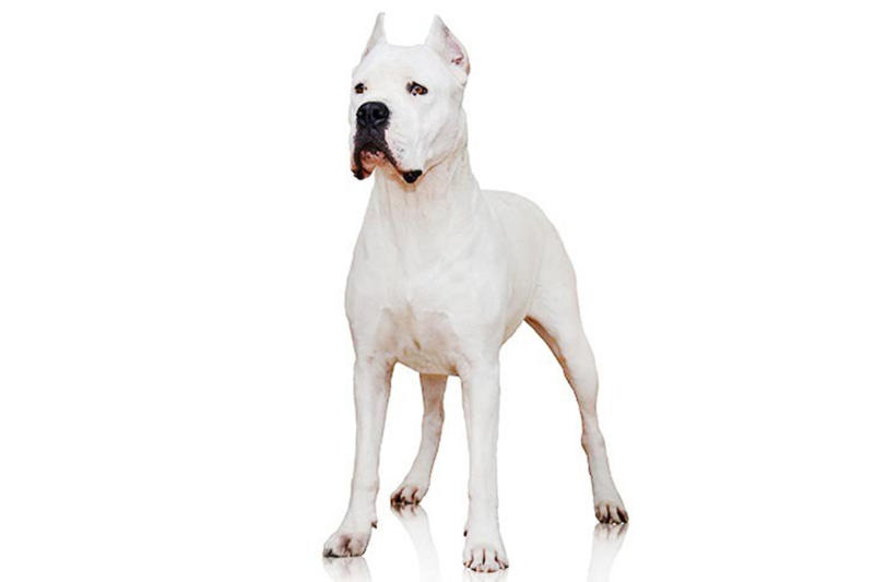 In this undated photo provided by the Westminster Kennel Club is a dogo Argentino. The powerful Argentinian big-game hunter has made the American Kennel Club's list of recognized breeds. The club announced that the dog can compete starting Wednesday, Jan. 1, 2020 in traditional, breed-judging shows. (American Kennel Club via AP)