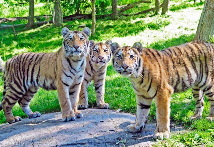 <p>Tigers in the Bronx Zoo (Photo:CBN New York)</p>
