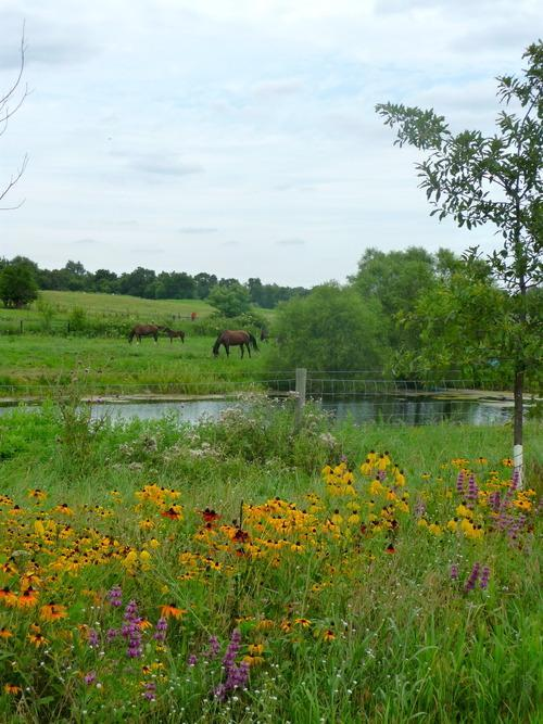 horses grazing in amish country
