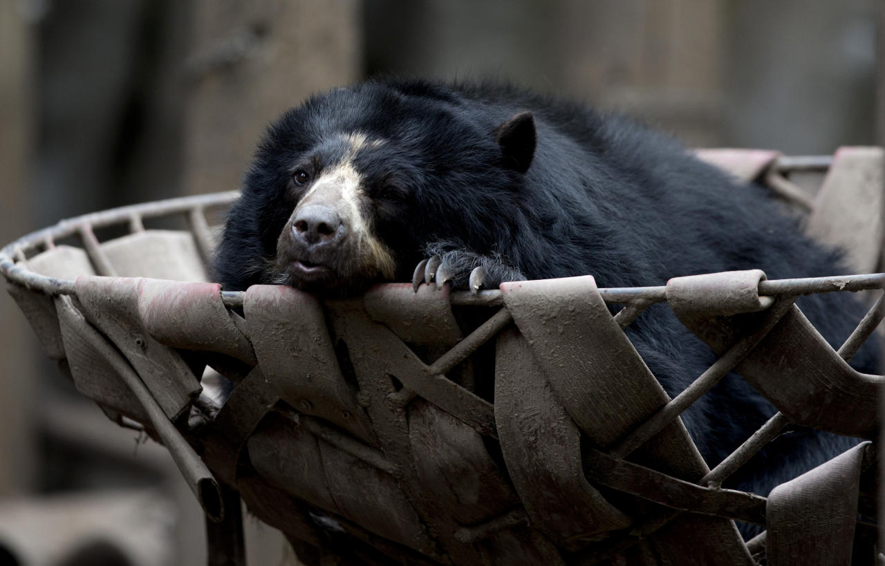 In this July 8, 2016 photo, a spectacled bear lounges in a basket in an enclosure at the former city zoo now known as Eco Parque, in Buenos Aires, Argentina. Experts have concluded that a year after the zoo transformation, the conditions for the animals practically remain the same and there is no concrete plan that maximizes the well-being of the animals. (AP Photo/Natacha Pisarenko)