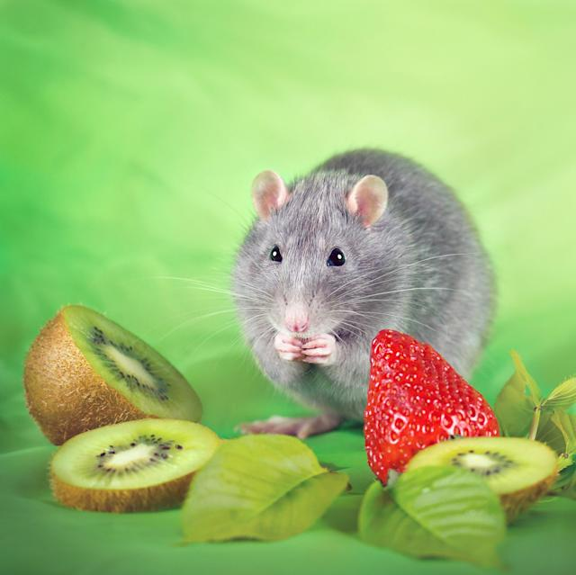 """<p>""""Each rat is quite different — they may be small but they really have huge personalities. (Diane Ozdamar/Caters News) </p>"""