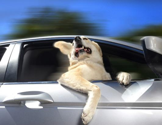 A Labrador peers out from a car window in Los Angeles. Photographer Lara Jo Regan has come up with an unusual pet project - snapping photos of ecstatic dogs as they hang their heads out of car windows