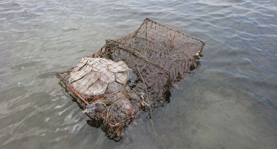 Close up of the dead green sea turtle caught in a crab trap. It is floating in the water.