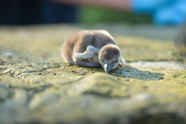 First Humboldt penguins chicks hatch at Chester Zoo