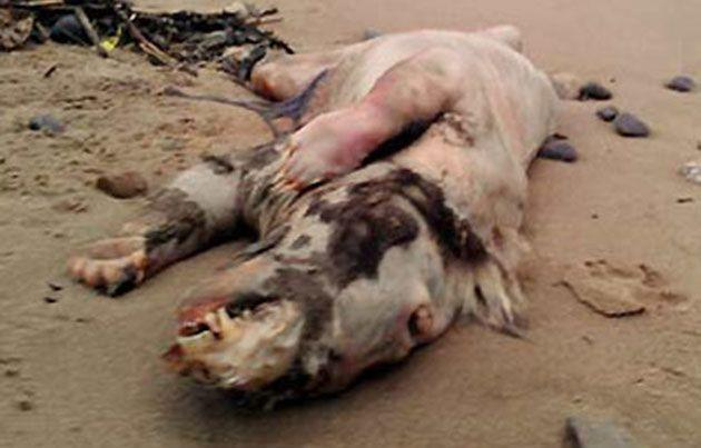 This 'pig beast' washed up on a Wales beach earlier this year and similarily mystified experts.