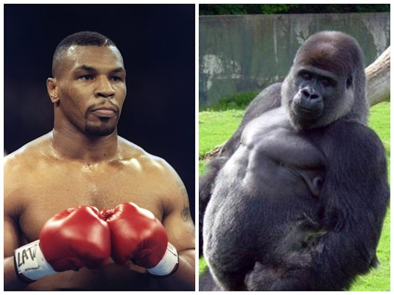 Mike Tyson once wanted to fight a gorilla: Getty