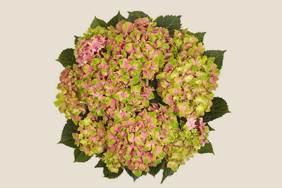 """<p>It's the bi-color blooms make the """"Candy Lips Pink"""" hydrangea unique, according to Joyce Mast, an expert affiliated with <a href=""""https://bloomscape.com/?&utm_source=google&utm_medium=cpc&utm_campaign=&gclid=CjwKCAjwhMmEBhBwEiwAXwFoEdBt746uUT3kYSM76un8CMqFOLubNswMxp4cI1GgvzQcQdwom_MOvRoCybAQAvD_BwE"""" rel=""""nofollow noopener"""" target=""""_blank"""" data-ylk=""""slk:Bloomscape"""" class=""""link rapid-noclick-resp"""">Bloomscape</a>. """"As the flowers mature, they display bright watermelon pink with touches of green,"""" she says. Once the flower begins to age, the lime green fades. This variety blooms throughout the spring and loves <a href=""""https://www.marthastewart.com/1140629/full-sun-spring-perennials-gorgeous-garden"""" rel=""""nofollow noopener"""" target=""""_blank"""" data-ylk=""""slk:morning sun and afternoon shade"""" class=""""link rapid-noclick-resp"""">morning sun and afternoon shade</a>. If you want to add one to your yard, plan on giving it plenty of water; they tend to wilt when they're thirsty.</p>"""