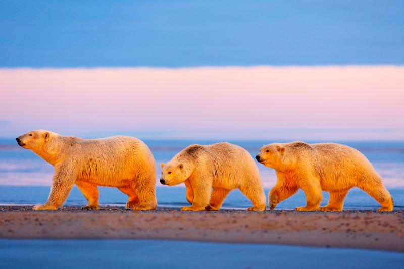 A mother polar bear and her cubs walk in the Arctic National Wildlife Refuge.