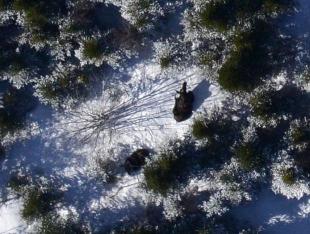 Spot an endangered mainland moose? Here's why you should report it