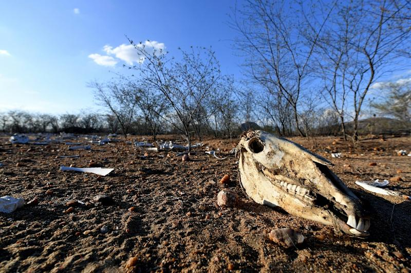 The remains of dozens of cows and donkeys pictured in a rural area of Quixeramobim, in Ceara State, northeast Brazil on February 8, 2017, during the region's worst drought in a century (AFP Photo/Evaristo SA)