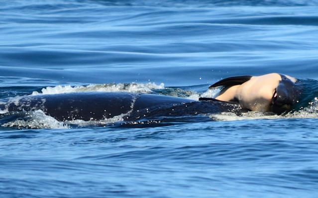 Orca carrying her baby. (Photo: AP)