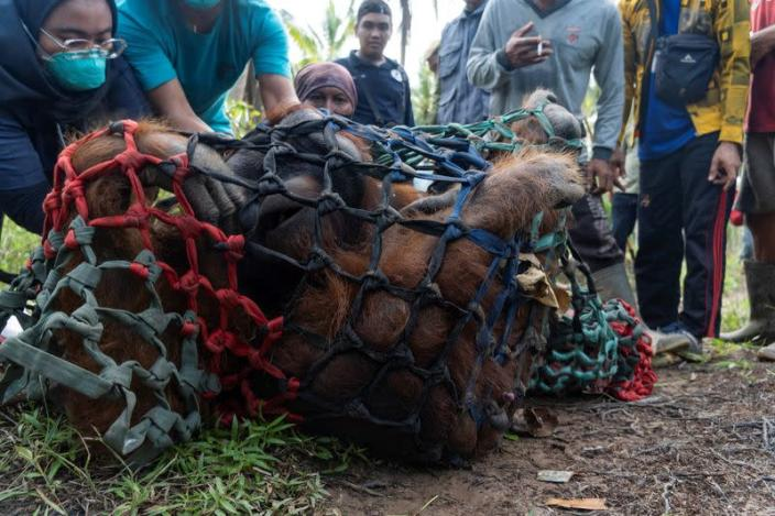Indonesia releasing a male Borneo orangutan into conservation forest. of Tanagupa, part of Gunung Palung National Park, in North Kayong regency