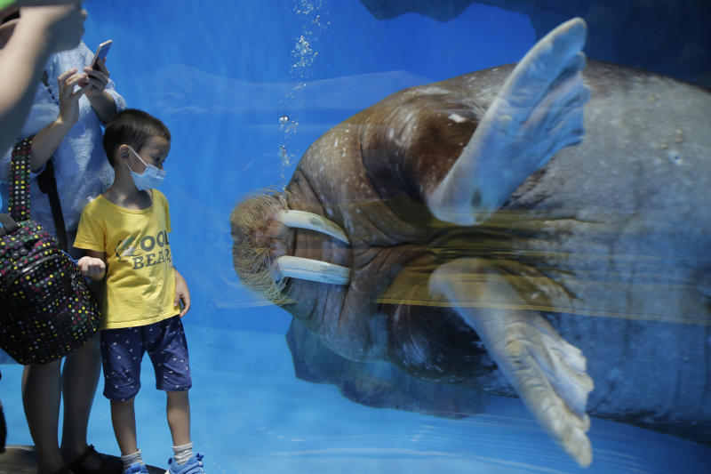 A guest wearing a face mask to prevent the spread of the new coronavirus, looks at a walrus at Ocean Park in Hong Kong, Saturday, June 13, 2020. Hong Kong Ocean Park reopened Saturday after nearly four months of closure due to the coronavirus pandemic. The animal and nature-themed attraction combines pandas, penguins, roller coasters and other rides, and has been a Hong Kong icon since its opening in 1977. (AP Photo/Kin Cheung)
