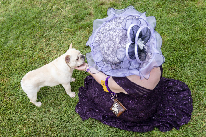 Captain, a French bulldog, is pet by his handler while participating in breed judging at the 145th Annual Westminster Kennel Club Dog Show, Saturday, June 12, 2021, in Tarrytown, N.Y. (AP Photo/John Minchillo)