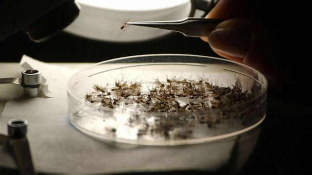 PHOTO: Entomologist Betsy Coes identifies mosquito species at Dragon Mosquito Control June 9, 2005 in Northampton, N.H. (Darren Mccollester/Getty Images, FILE)