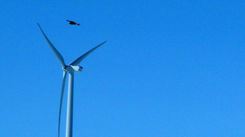 FILE - This April 18, 2013 file photo shows a golden eagle flying over a wind turbine on Duke energy's top of the world wind farm in Converse County Wyo. The Obama administration will allow companies to seek authorization to kill and harm bald and golden eagles for up to 30 years without penalty in an effort to balance some of the environmental trade-offs of green energy. The change, requested by the wind energy industry and officially revealed Friday, will provide legal protection for the lifespan of wind farms and other projects that obtain a permit and do everything possible to avoid killing the birds. Companies will also have to commit to take additional measures if they exceed their permit limits or if new information suggests eagle populations (AP Photo/Dina Cappiello, File)