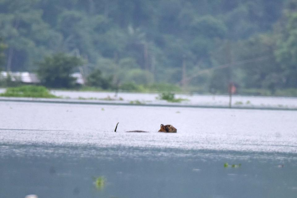 A tiger wades through a flooded area in search of higher land near Kaziranga National Park, at Baghmari village in Nagaon district of Assam. (Photo credit should read Anuwar Ali Hazarika/Barcroft Media via Getty Images)