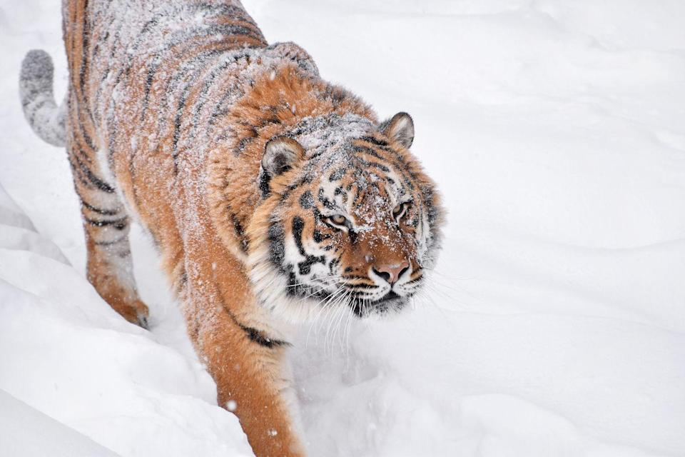 """<p>When you think of tigers, you probably don't think of them being in the snow—they seem to be more of a jungle cat. But <a href=""""https://www.stlzoo.org/animals/abouttheanimals/mammals/carnivores/amurtiger"""" rel=""""nofollow noopener"""" target=""""_blank"""" data-ylk=""""slk:the Amur tiger"""" class=""""link rapid-noclick-resp"""">the Amur tiger</a>, for example, can live in every harsh climates with cold weather and snow. </p>"""